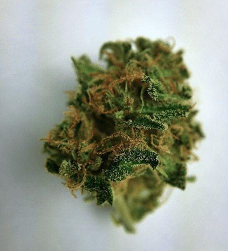 Buy Venice OG Marijuana
