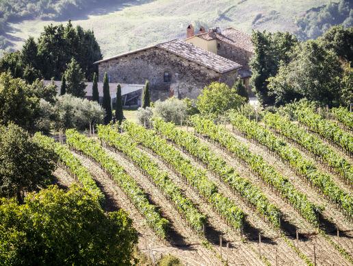 Image: Row of Vineyard Vines in Tuscany
