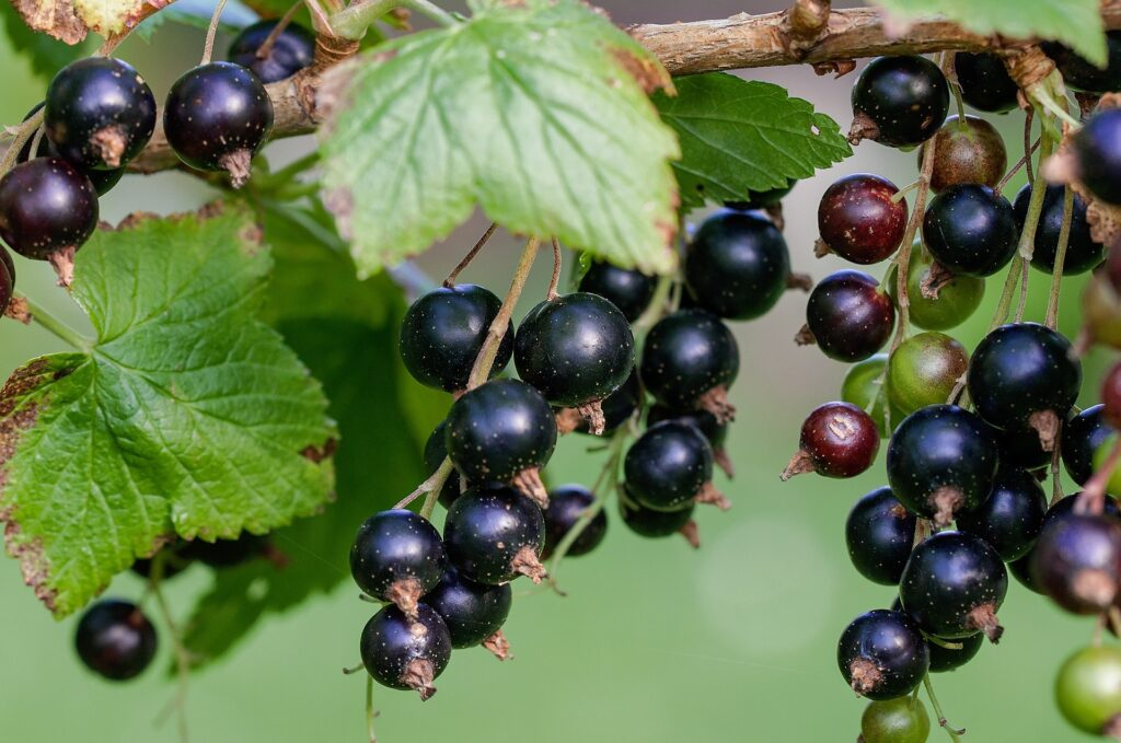 Black Currants in Wine