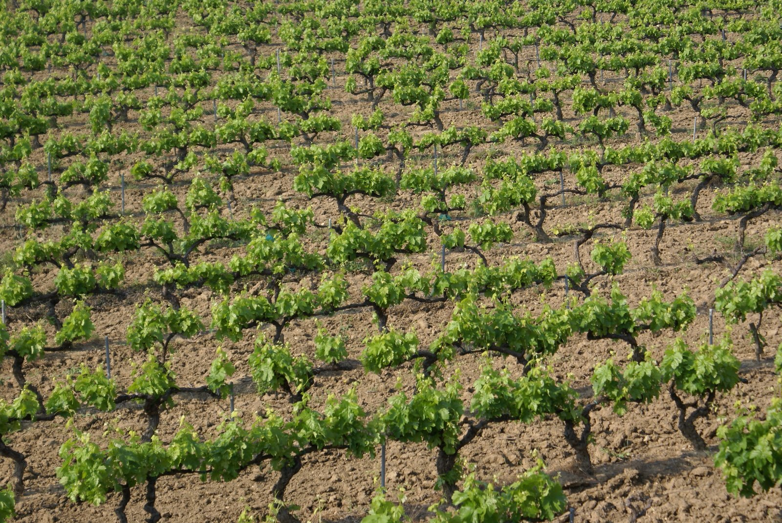 Southern France Vineyard