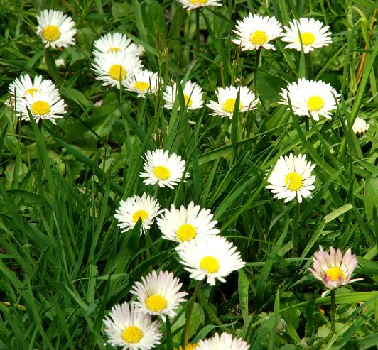 Flash Fiction: Broken Daisies