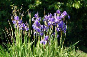 Irises and Cattails