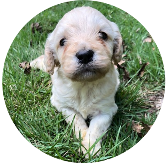 Upcoming labradoodle Litters