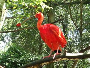Parque das Aves, Ibis