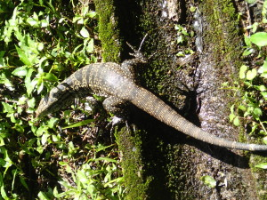 Lots of reptiles in the National Park of Iguazu