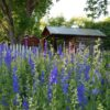 Larkspur & the Old Chicken House (now packing shed)