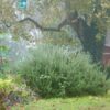 Rosemary 'Foxtail' in fall mist.