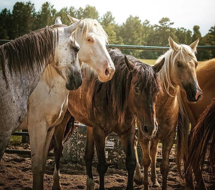 Horse Plus Humane Society – Saving America's horses since 2003