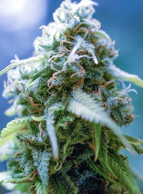 xj-13 strain