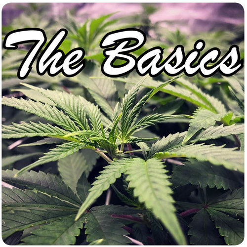 Basic guide to growing marijuana