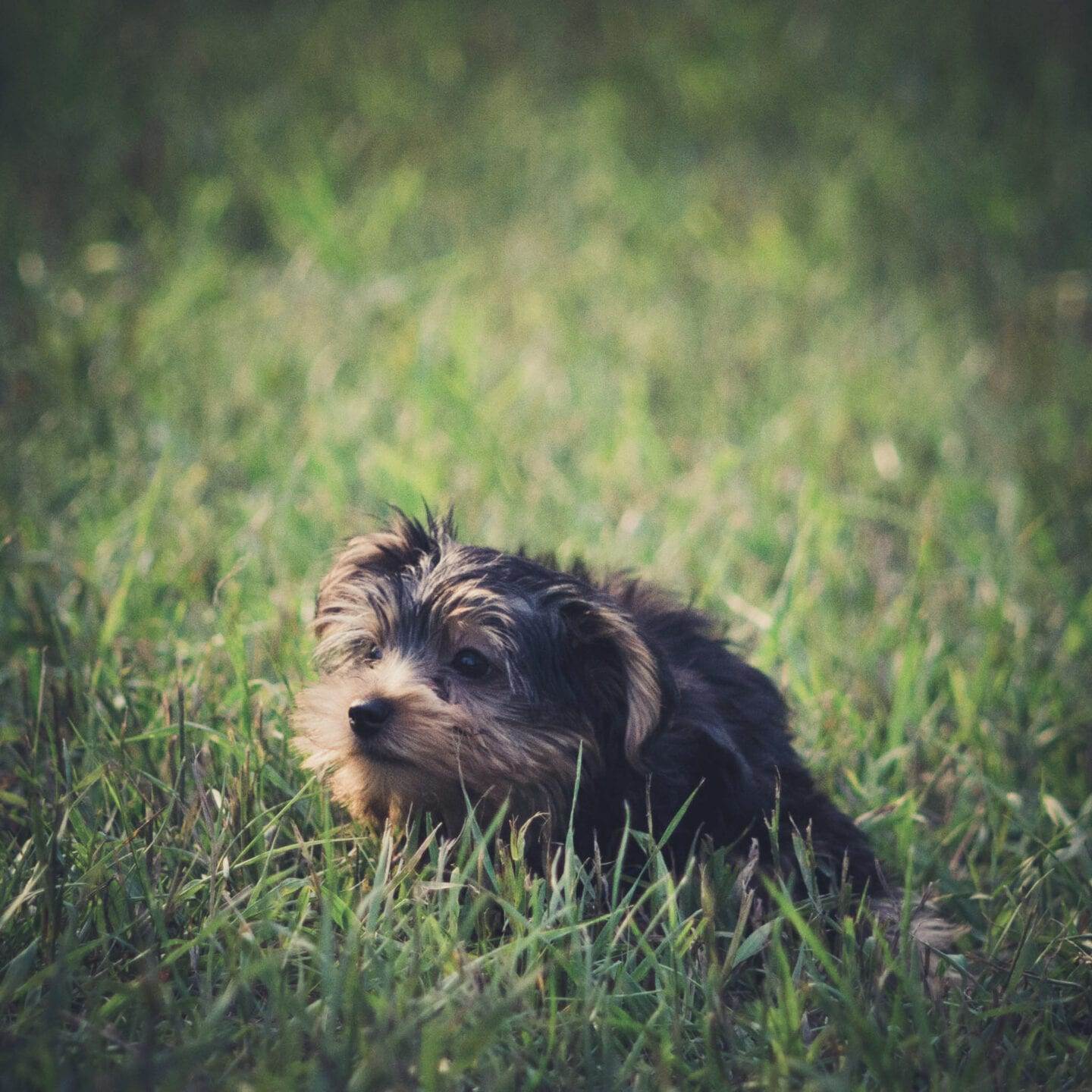 A baby yorkshire terrier got on the grass for the first time and explores its surroundings