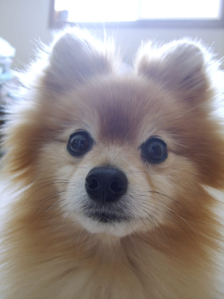 pomeranian dog cute photography (21)