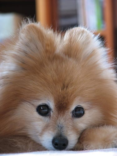 pomeranian dog cute photography (60)
