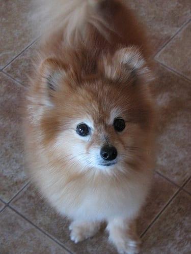 pomeranian dog cute photography (65)