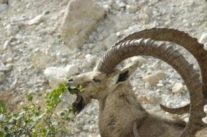 The wild goat of the dead sea area and negev
