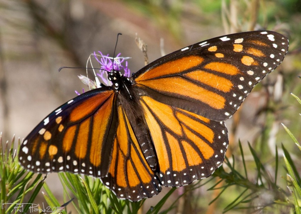 MonarchButterfly_Portfolio
