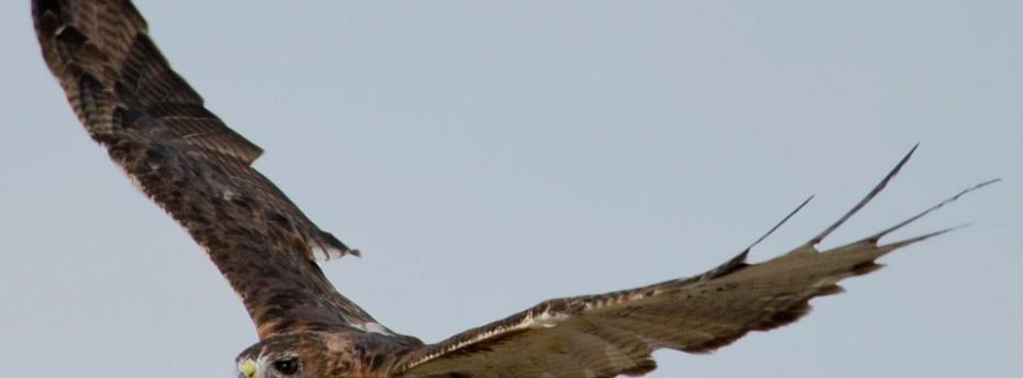 Raptors in Flight