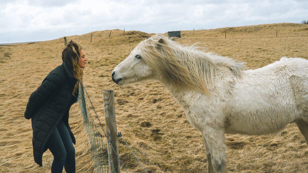 Iceland white horse