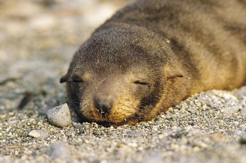 lobos-de-mar-paracas