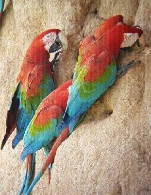 papagayos-selva-peruana