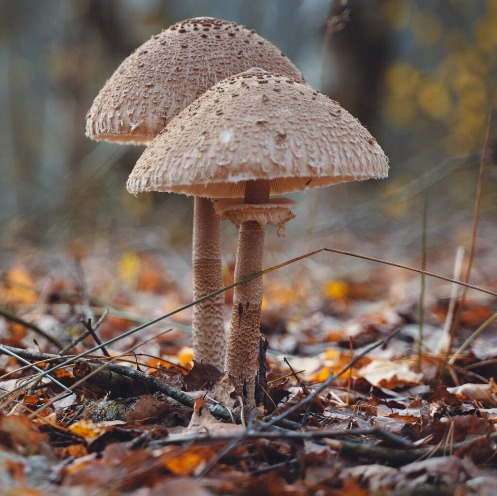 Fly agaric mushroom in autumn forest. Red fly agaric growing in moss. Poison fly agaric mushrooms in