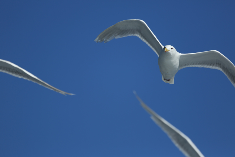 Glaucous-Wingled Gulls