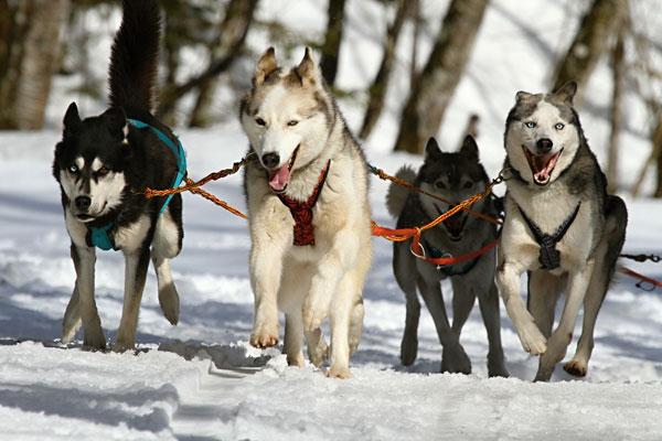 Dog Sledding in the Flathead Valley