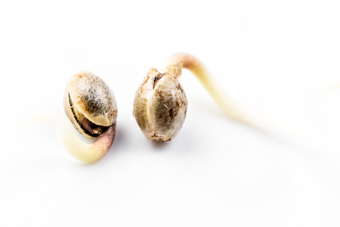 Recently germinated cannabis seeds. The first root that emerges will eventually form the taproot.