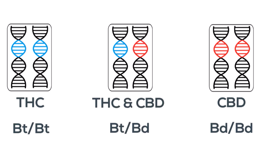 Combinations of THC and CBD Alleles