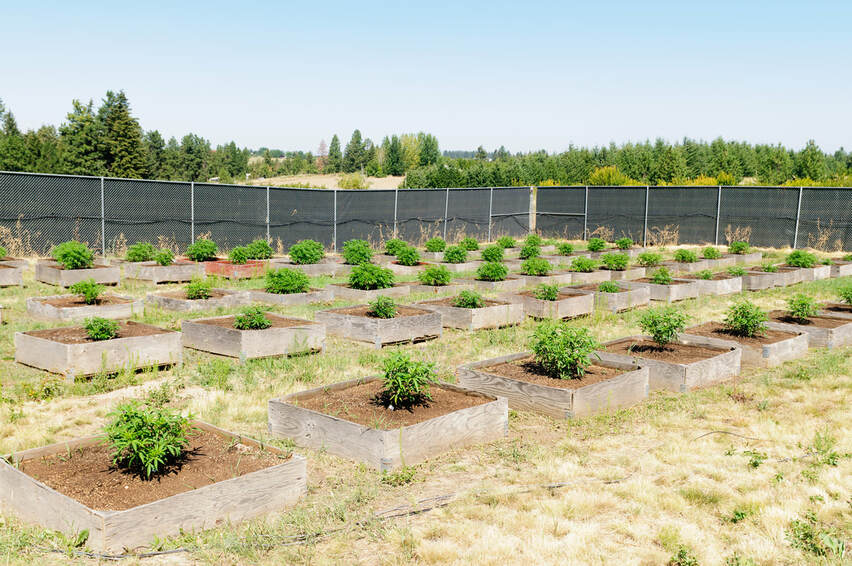 Young cannabis plants growing on a commercial farm.