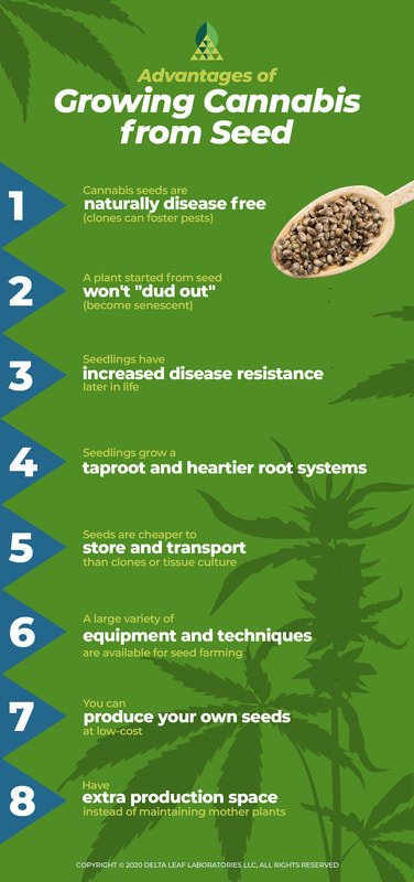 Infographic: Advantages of growing cannabis from seed infographic