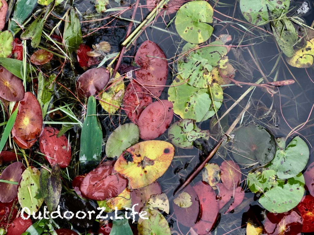 A picture of autumn Water Lillies on Lake Lacawac