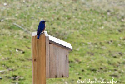 Bluebird, Outdoorzlife