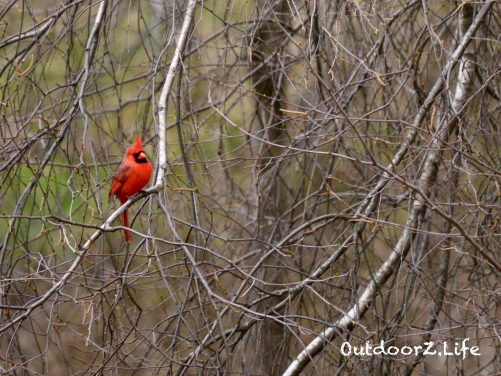 Outdoorzlife, Cardinal, Birch Tree, Backyard Birds