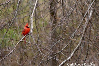 Outdoorzlife, Cardinal, Birch Tree, Backyard Birds