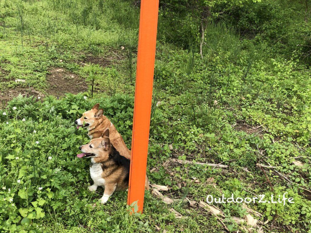 Picture of 2 Corgis guarding a trail marker.