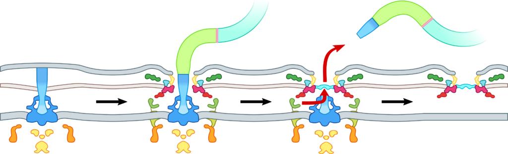 Figura 1: Representação esquemática do processo de ejeção do flagelo bacteriano. Crédito da imagem: Dr. Morgan Beeby.