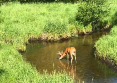 Trophy Whitetail Deer in Michigan