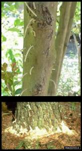 Ambrosia Beetles Combo