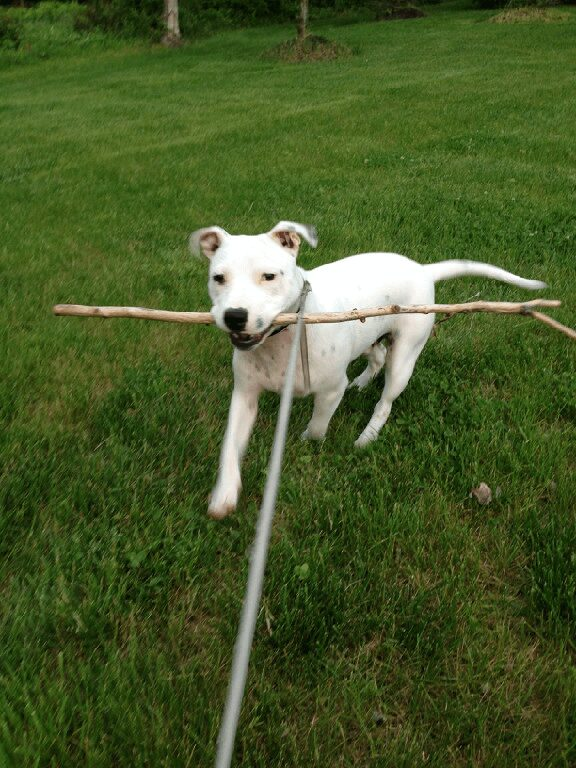 White dog retrieving stick