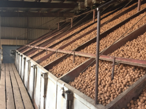 This is a picture of walnuts being dried mechanically in some of our drying bins in 2021