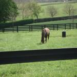 Medaglia d'Oro grazing in his paddock
