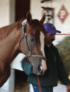 California Chrome walking the shed row the morning after his Kentucky Derby win