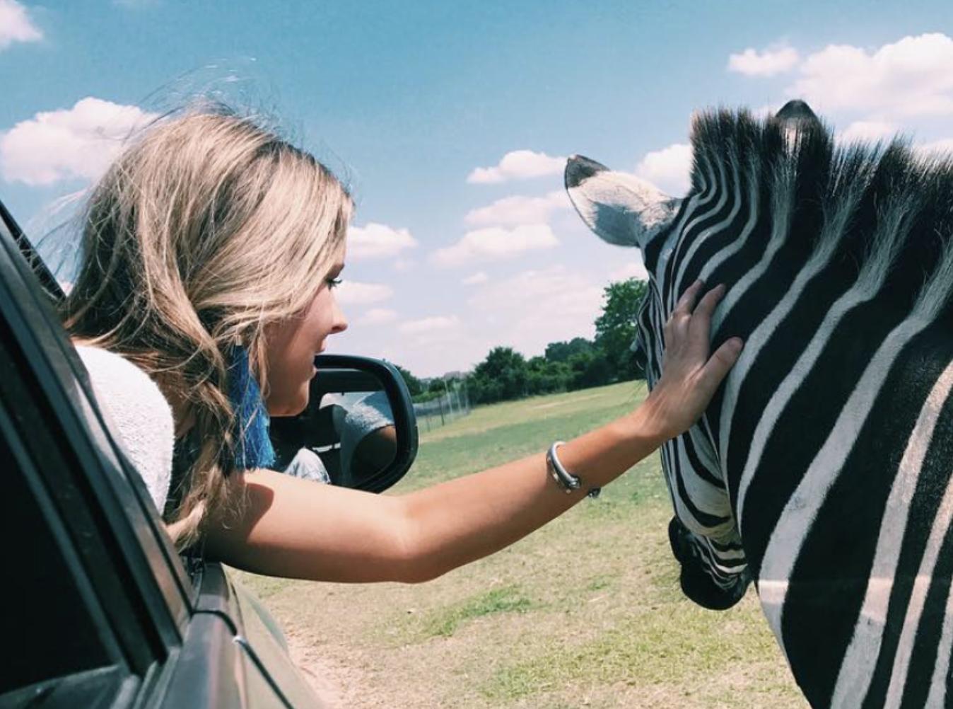 Girl in car petting zebra through open window