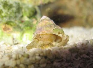 Snail - Astrea