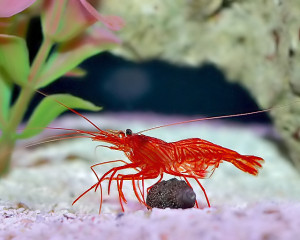 Shrimp - Peppermint