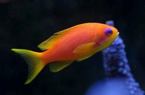 Anthias - Squampinnis Female