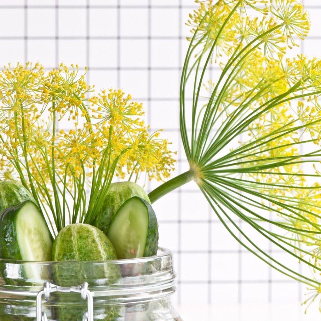 Overnight Dill Pickles Recipe