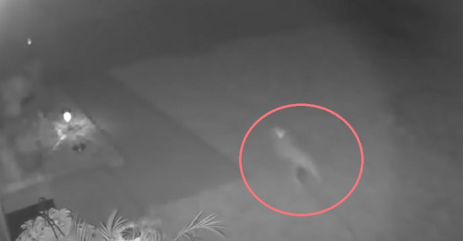 """A """"Baby Dinosaur"""" Caught on Security Camera in Florida!"""