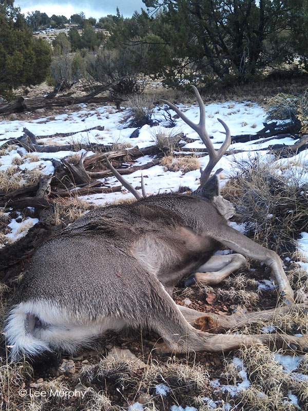 The big Archery Mule Deer buck laying as guide Lee Murphy found him.